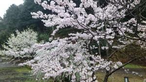 sakura-yukiyanagi-sakura-ameasa