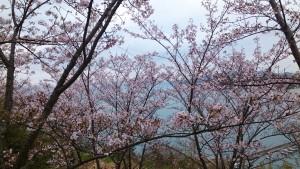 syoudoshima-sakura2